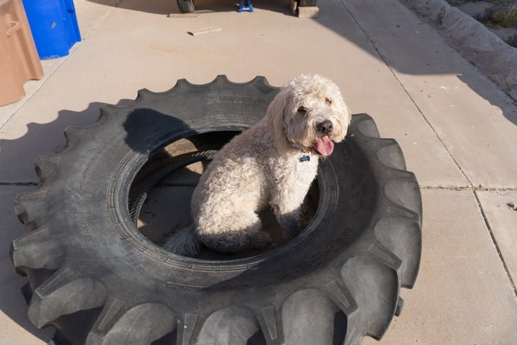 Labradoodle In Tire