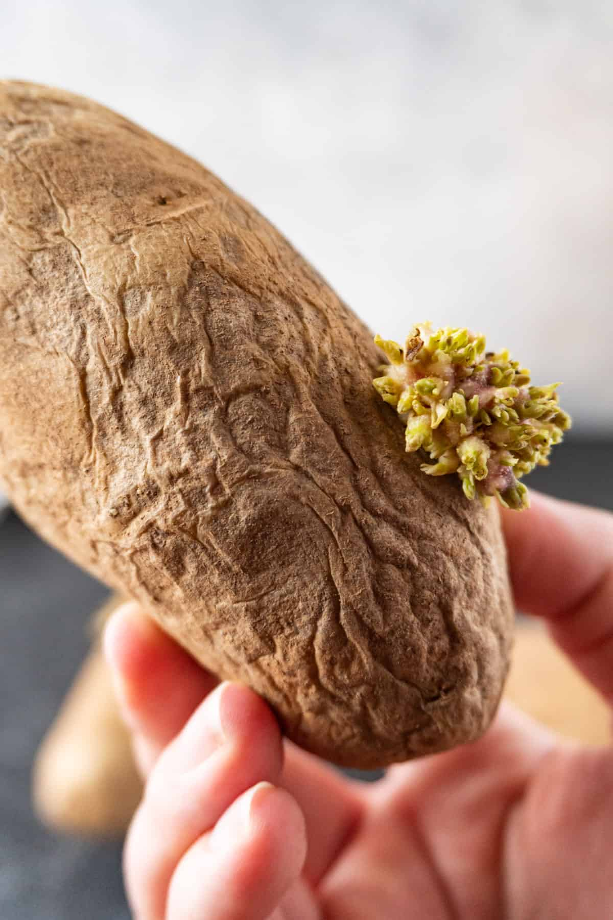 holding a wrinkly sprouted potato